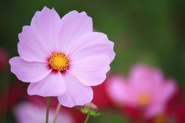 秋桜:花びらいっぱいに広げて。