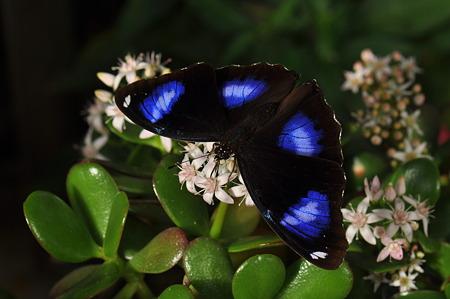 タテハチョウ科 リュウキュウムラサキ♂