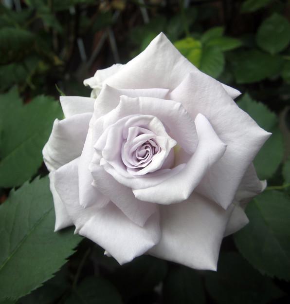 Miniature rose Graun blue