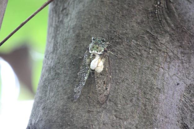 ミンミンゼミと寄生虫のセミヤドリガの幼虫