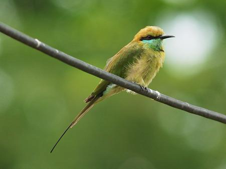 ミドリハチクイ(Green Bee-Eater) P1190382_R