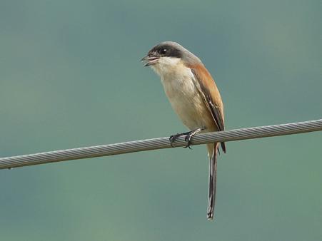 Burmese Shrike(ハイガシラモズ) P1230472_R