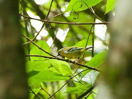 クリビタイモズチメドリ♂(Chestnut-fronted Shrike-babbler) IMGP123210_R2