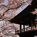 標高1000Mの桜