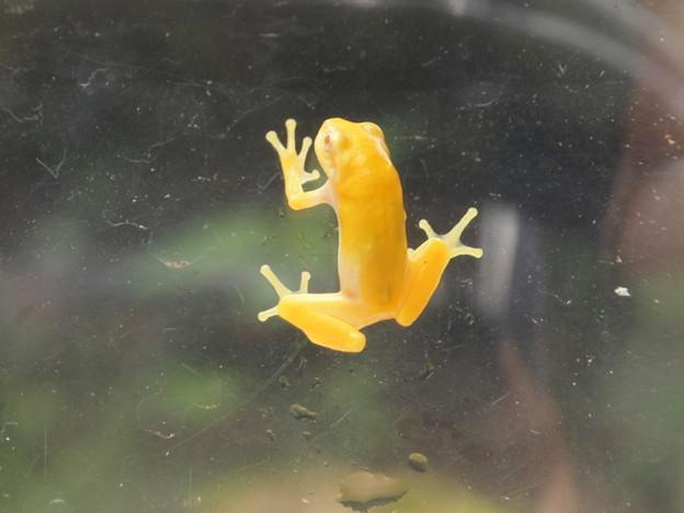 黄色いカエル(1)