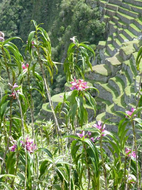 マチュピチュ遺跡とランの花