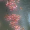 Photos: 修善寺寒桜2