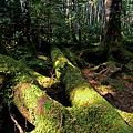 苔むす原生林。