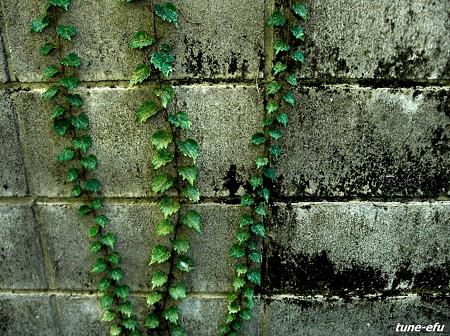 壁を這う草