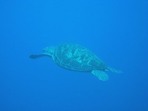 アオウミガメ 5