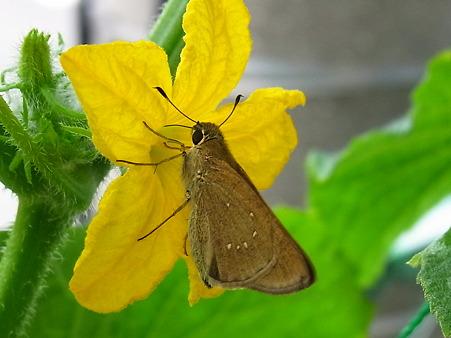 キュウリの花を蛾がチューチュー