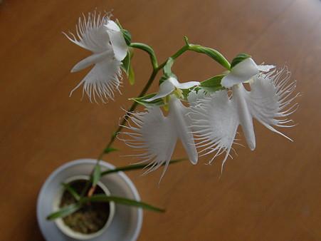 サギ草、揃い咲き3(二日目)