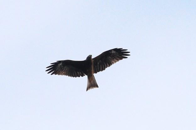 写真: のんびりと上空を飛翔するトンビ