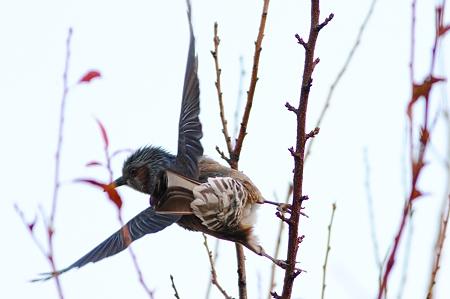 飛び立つ寸前のヒヨドリ