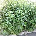 写真: 2011年06月25日_P6250599ヨウシュヤマゴボウ