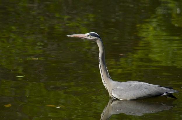 青鷺(heron)