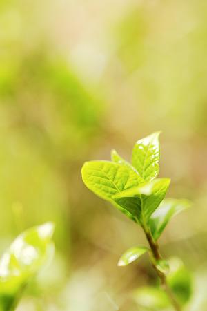 紫陽花新芽