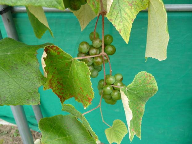 葡萄園のわきに実った葡萄