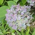 Photos: 8月9日「紫陽花」