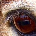 Photos: 群馬サファリの馬の目。