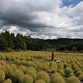 写真: 広大なコキア畑