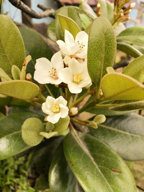写真: Round-leaf Yeddo hawthorn