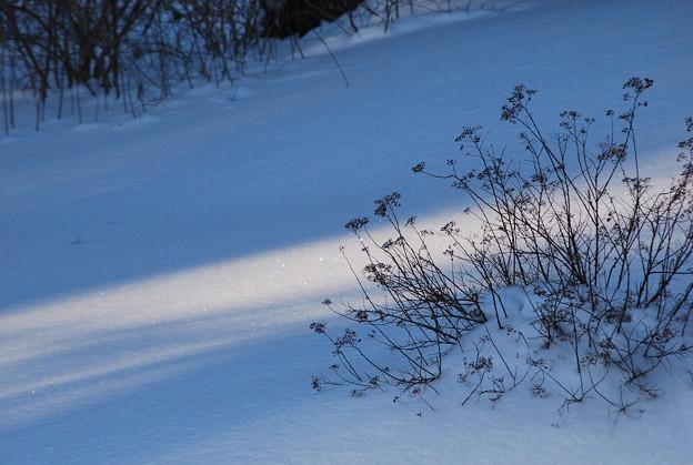 写真: Japanese Spiraea 1-16-11