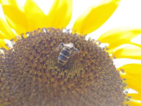 一心不乱に花粉を収集
