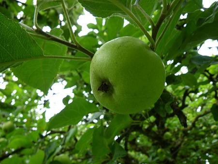 青リンゴが実る