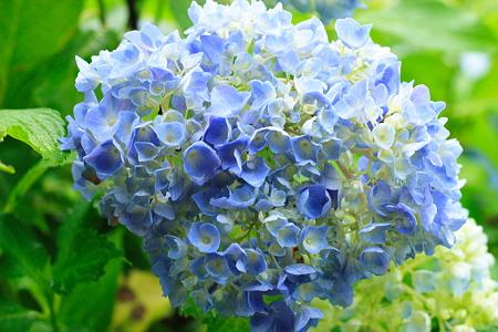 あじさい参道の紫陽花