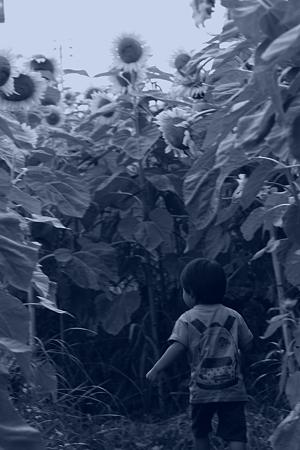 天童のひまわり迷路