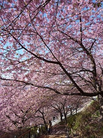 110305-松田山 河津桜 (18)