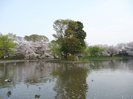 110411-鶴岡八幡宮 源平池 (5)