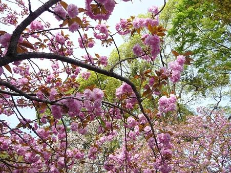 110417-造幣局 桜の通り抜け (98)