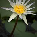Photos: キレのある蓮の花