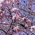 Photos: 上野公園で咲いている早咲きの桜