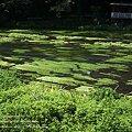 柿田川中流域の景色3
