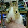 写真: ミニウサギ。 5月の末頃産...