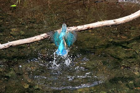2012.05.21 和泉川 カワセミ 水浴び