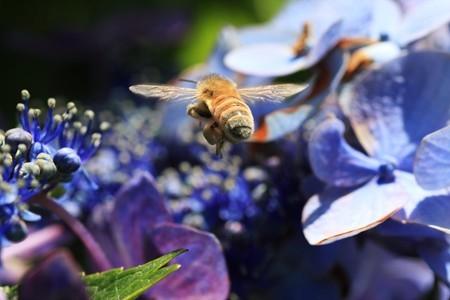 2012.06.26 和泉川 アジサイの間を飛行するミツバチ