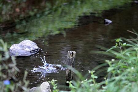 2010.09.23 和泉川 カワセミの狩り