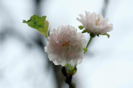 2010.10.15 和泉川 コフクザクラ