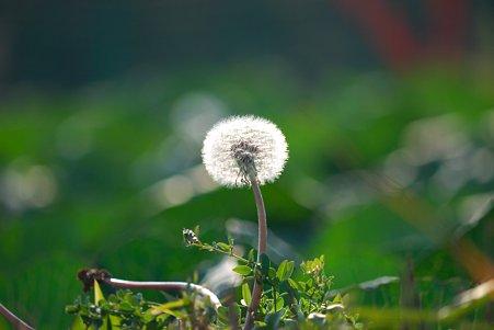 2010.12.18 追分市民の森 キャベツ畑の畦にタンポポ