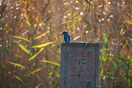 2010.12.22 大池公園 カワセミ