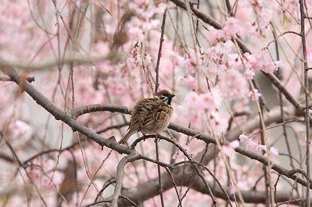2011.04.18 和泉川 枝垂桜に雀