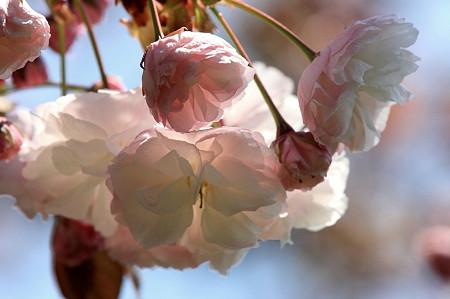 2011.04.20 和泉川 八重桜