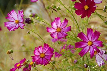 花菜ガーデンのコスモス・・8