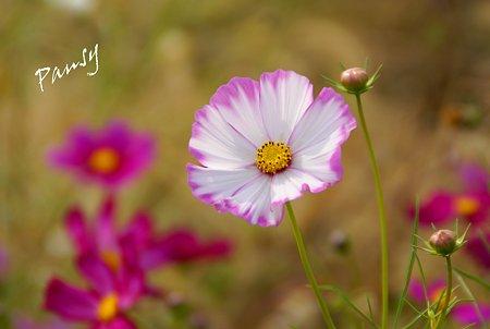 花菜ガーデンのコスモス・・9
