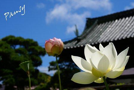 青空と・・蓮と・・本覚寺 1