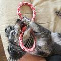 Photos: 大型犬用のおもちゃで遊ぶ春馬